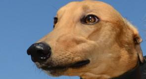 Sandown Friday Preview: Kayda set for $50,000 Reward in Four-Dog Shootout