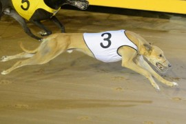 Thoroughbred trainer turns to greyhound ownership